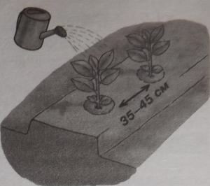 Растения следует выращивать на определенном расстоянии друг от друга