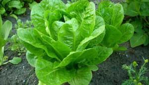 Салат посевной (латук)