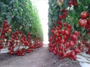 томаты в грунте