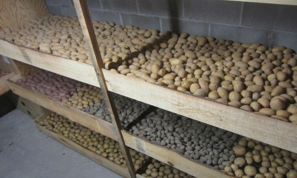 Как сохранить картофель до нового урожая?