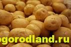 Отечественные сорта картофеля. Раннеспелые и среднеспелые 3