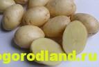 Отечественные сорта картофеля. Раннеспелые и среднеспелые 2