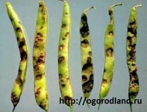 Антракноз поражает все надземные части растения.
