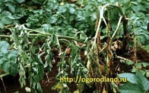 Бактериальная гниль (слизистая болезнь картофеля)- проявляется в фазе цветения.