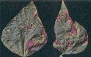 Бактериальная пятнистость фасоли- на листьях появляются мелкие водянистые пятна, затем они разрастаются и становятся бурыми,расплывчатыми с желтовато-зелёной каймой.