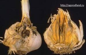 Бактериальное заболевание. Поражает сочную ткань озимого чеснока.