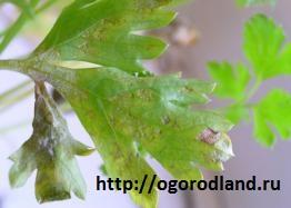 Белая пятнистость (септориоз) петрушки. Многочисленные пятна разной формы-сначала коричневые,позднее грязно-белые с темно-коричневой каймой.