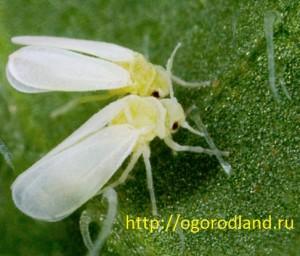 Белокрылка- многоядный вредитель. Поселяется на нижней стороне листьев.