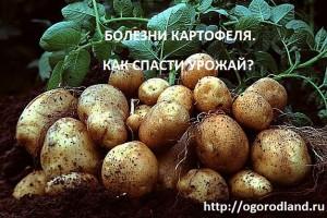 Болезни картофеля. Бактериальные,грибные,вирусные.