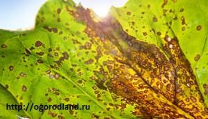 Церкоспороз (ранний ожог) сельдерея. Распространен также и на пастернаке. Это желтоватые или грязно-бурые пятна, постепенно бледнеющие. Пятна окружает узкий темно-коричневый ободок.