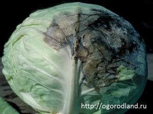 Черная гниль (сосудистый бактериоз) капусты.