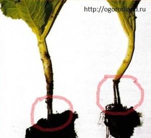 Черная ножка у капусты- грибное заболевание. Корневая шейка становиться бурой или черной и быстро загнивает.