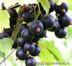 Черная смородина- не любит расти в тени. Это сказывается на снижении урожая, а вредителями повреждается больше чем на свету.