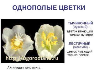 Цветки актинидии.