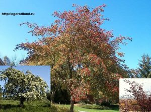 дерево боярышник
