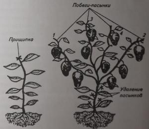 Формирование растений перца и баклажанов