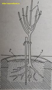 Фото № 3. Схема обрезки дерева после посадки.1— места обрезки; 2 — лунка; 3 — мульчирующий материал