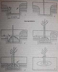 Фото №2. Последовательность выполнения операций при посадке плодового дерева