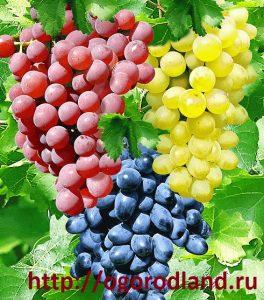 Известно более 70 видов винограда.
