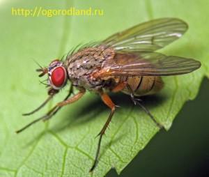 Капустная муха.