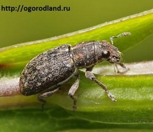 Клубеньковый долгоносик. Серый жук- вредитель бобовых культур.