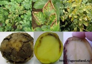 Кольцевая гниль картофеля-бактериальная болезнь.