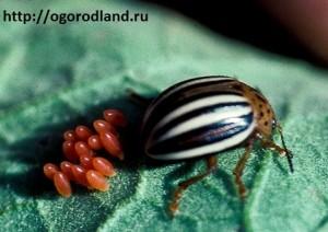 Колорадский жук. Яйца продолговато-овальные, желто-оранжевые.
