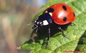 С тех пор как стало известно, что ест божья коровка, это насекомое считается друг ом человека. Много вредителей уничтожает за свою короткую жизнь божья коровка, среди них тля, мучнистый червец и щитовка, причиняющие вред садовым и огородным растениям.