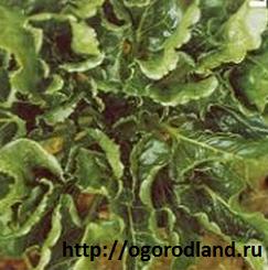 Курчавость (морщинистость) листьев- вирусное заболевание. проявляется в сильном искривлении листьев.