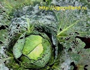 Ложная мучнистая роса (пероноспороз) на капусте- грибное заболевание.