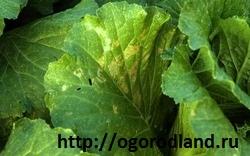 Ложная мучнистая роса (пероноспороз) шпината. На верхней стороне листьев появляются крупные,расплывчатые,желтые или желто-зеленые пятна...