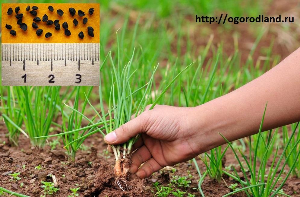 как вырастить грибы семенами