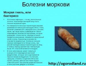 Мокрая гниль (бактериоз) моркови. Поражает также сельдерей,пастернак,лук,петрушку, и др.