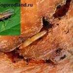 Морковная муха и её личинки повреждают морковь,петрушку,пастернак,сельдерей.