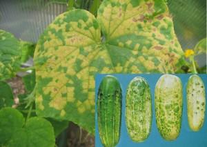 Обыкновенная мозаика на листьях и плодах.