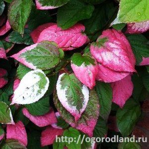 Окрас листьев актинидии.