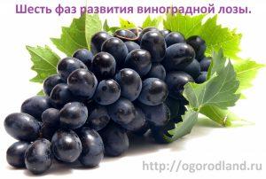 Оптимальные условия для роста винограда- тепло, свет, влажность, почва.