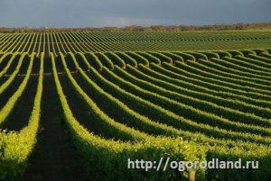 Плантации винограда.