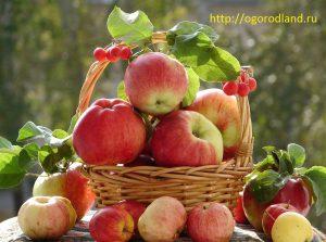 Плодовые культуры. Яблоня.