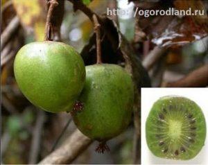 Плоды актинидии аргута.