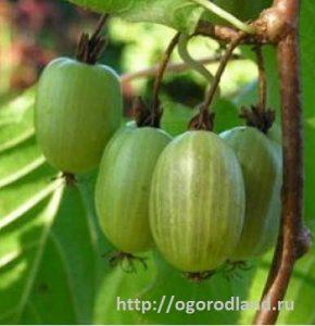 Плоды актинидии коломикта.