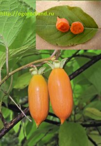 Плоды актинидии полигама.