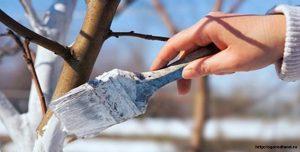 Побелка садовых деревьев - защита от грызунов и вредителей.