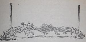 Пригибание побегов малины на зиму