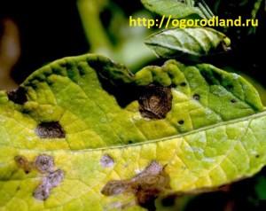 Ранняя сухая пятнистость картофеля. Поражаются листья и стебли.