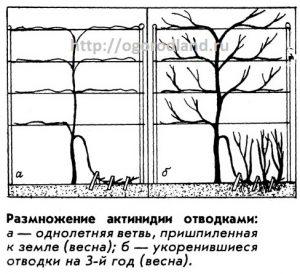 Размножение актинидии отводками.