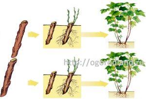 Размножение антинидии черенками.
