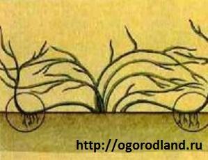 Размножение китайского лимонника отводками.