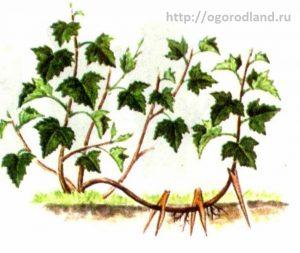 Размножение смородины горизонтальными отводками