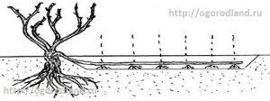 Размножение винограда отводками.